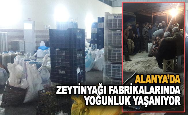 Alanya'da Zeytin Yağı Fabrikalarında Yoğunluk Yaşanıyor!