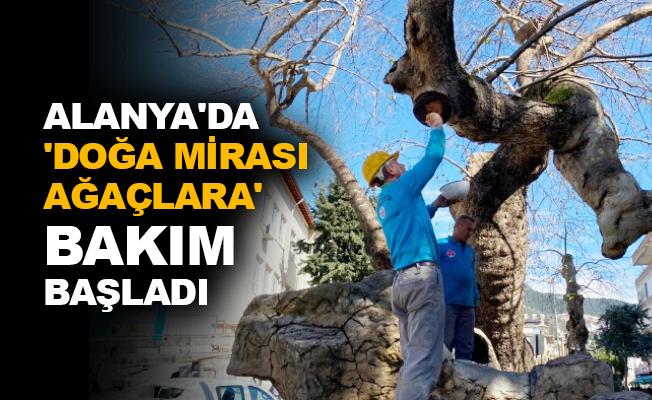 Alanya'da 'Doğa Mirası Ağaçlara' bakım başladı