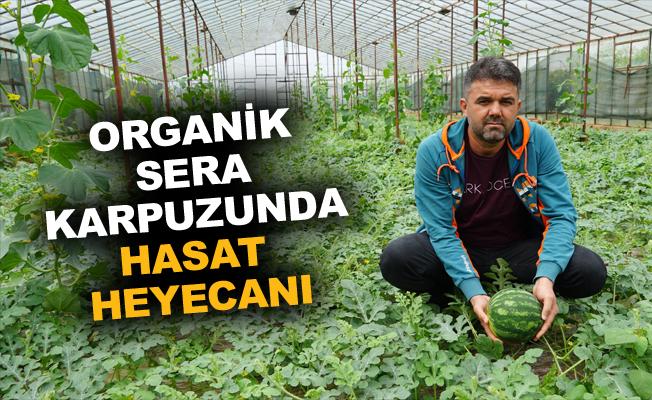 Organik sera karpuzunda hasat heyecanı