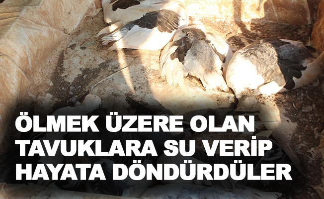 Ölmek üzere olan tavuklara su verip hayata döndürdüler