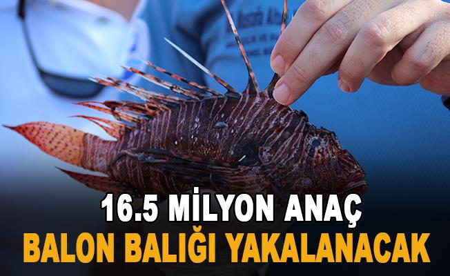 3 yıl sürecek projeyle, 16.5 milyon anaç balon balığı yakalanacak