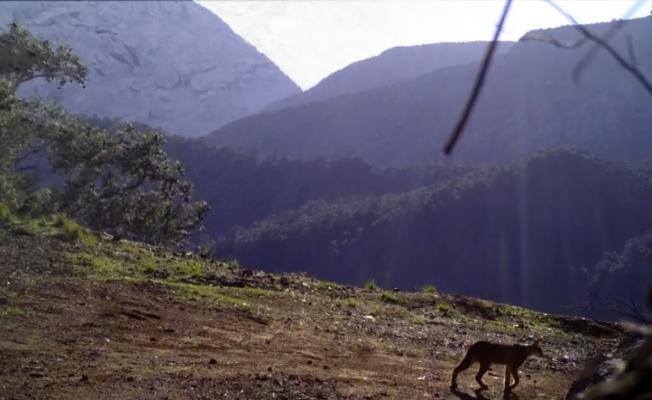 Ormanın hayalet kedisi Karakulak, Antalya sınırlarında görüntülendi