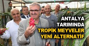 Antalya tarımında tropik meyveler yeni alternatif