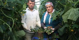 Dikenli salatalık pazarı üreticinin yüzünü güldürdü