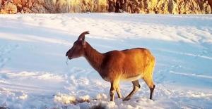 Aç kalan dağ keçilerinin yoncayla beslendiği anlar fotokapanda