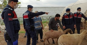 Jandarma kayıp koyunları buldu