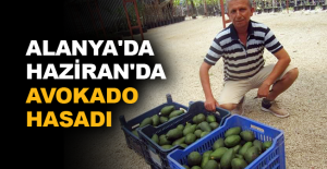 Alanya'da Haziran'da avokado hasadı
