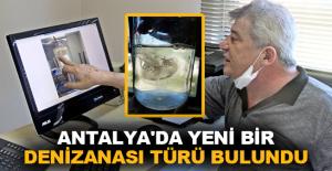 Antalya'da yeni bir denizanası türü bulundu