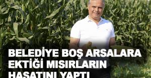 Belediye, boş arsalara ektiği mısırların hasatını yaptı
