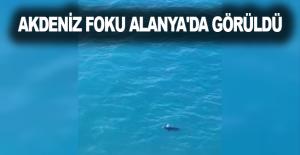 Akdeniz Foku Alanya'da görüldü