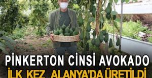 Pinkerton cinsi avokado ilk kez Alanya#039;da...