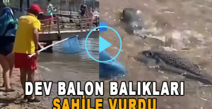Alanya sahilinde dev balon balıkları sahile vurdu!